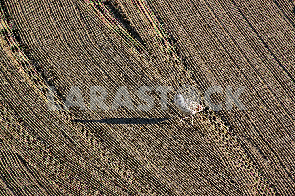 Lonely seagull on cleaned by a tractor sand on the Mediterranean beach — Image 69324