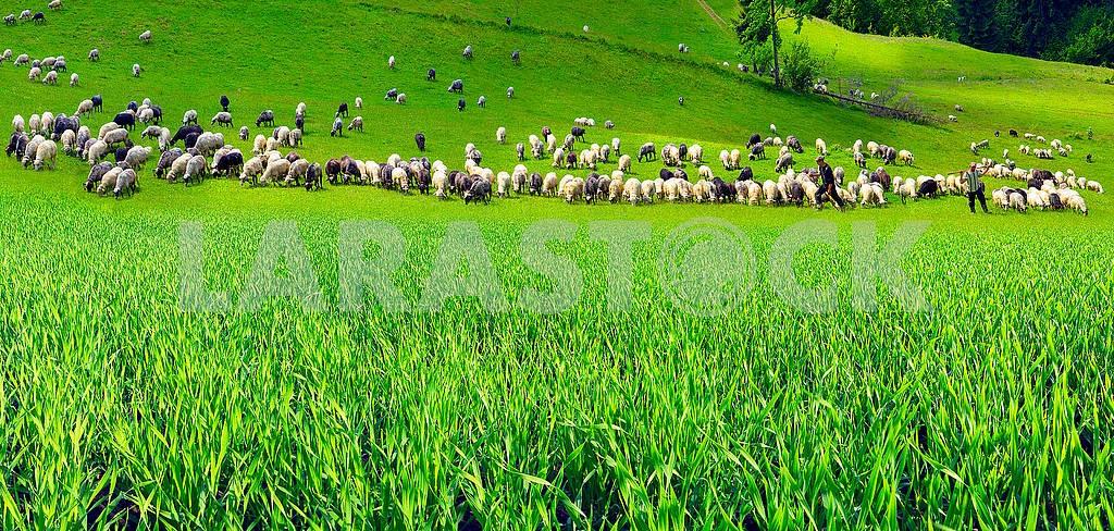 Sheep Carpathians — Image 69442