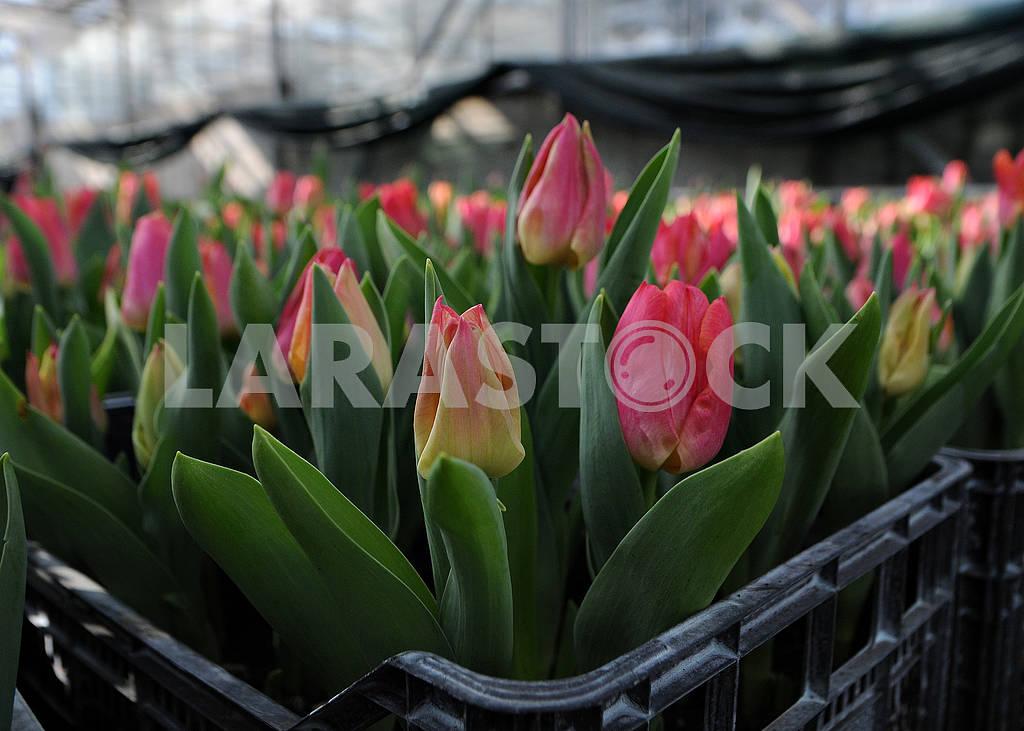 Tulips — Image 69532