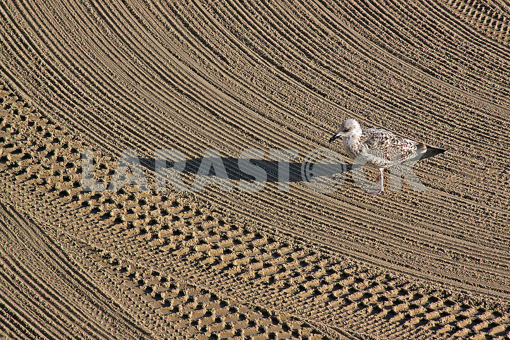 Lonely seagull on cleaned by a tractor sand on the Mediterranean — Image 69575