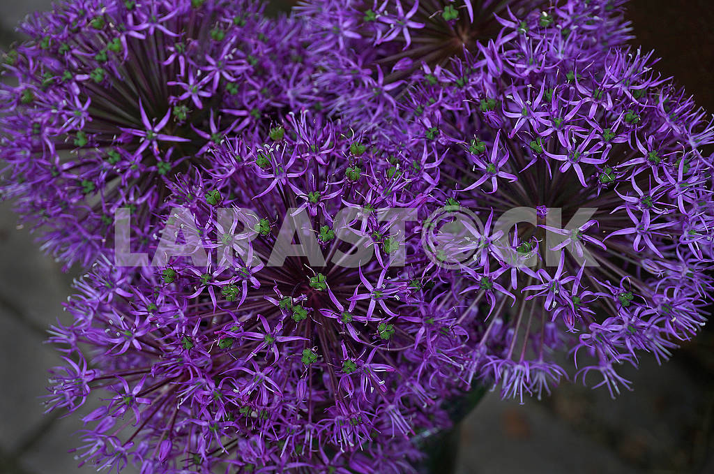 Purple Allium (decorative onion) — Image 69583