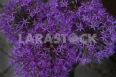 Purple Allium (decorative onion)