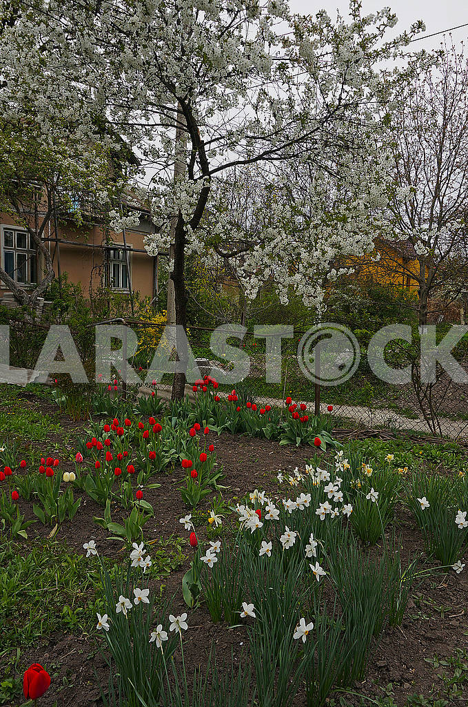 Tulips, narcissi and pear blossom — Image 69585