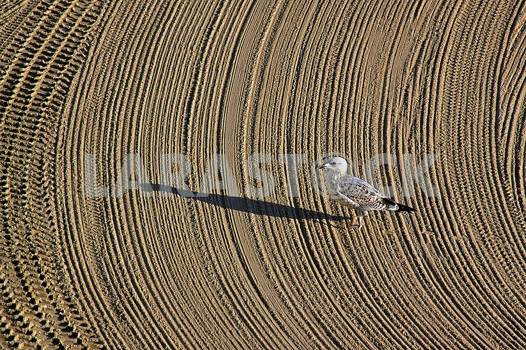 Lonely seagull on cleaned by a tractor sand on the Mediterranean — Image 69747