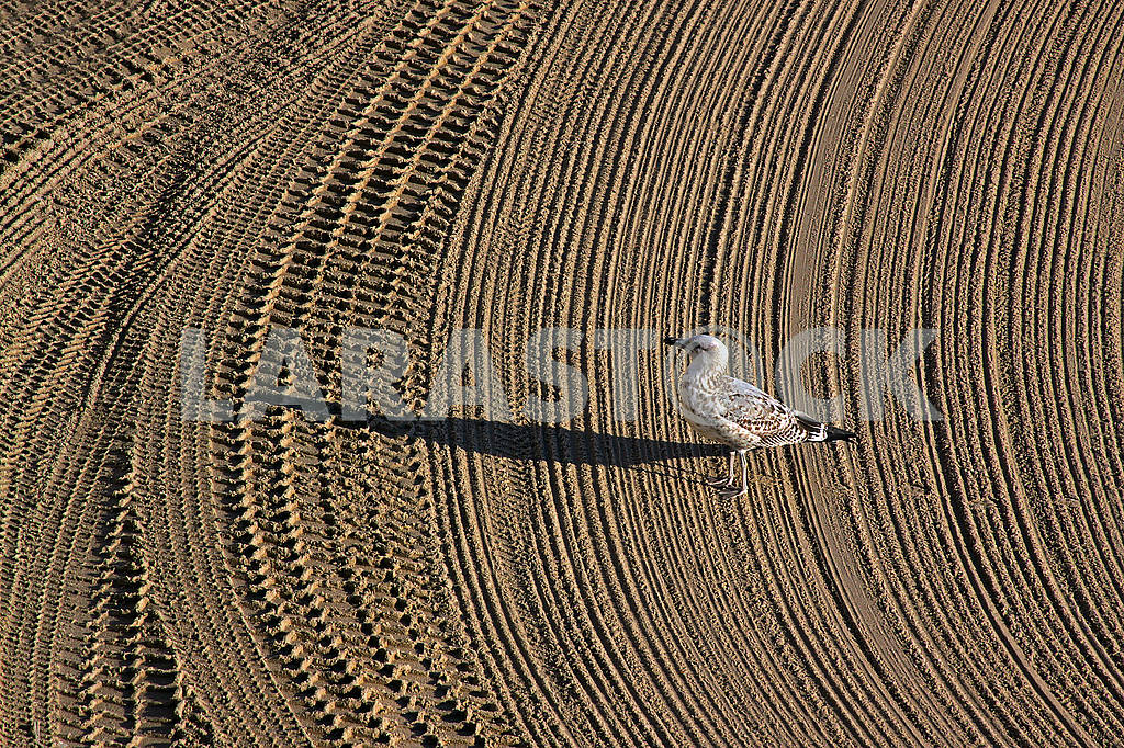 Lonely seagull on cleaned by a tractor sand on the Mediterranean — Image 69931