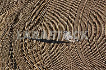 Самотня чайка на очищеному трактором піску на середземноморському пляжі
