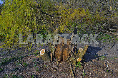 A stump of trimmed tree