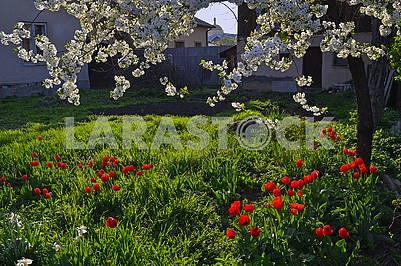 Blossoming cherry, red tulips and white daffodils