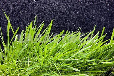 Wheat grass with rain