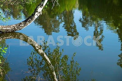 Reflection of birch water