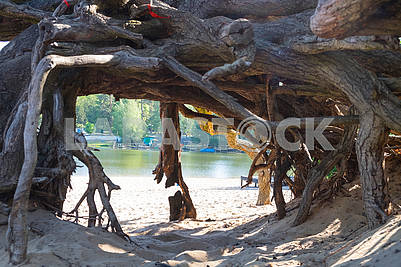 The roots of the old oak tree in Pushcha Vodice