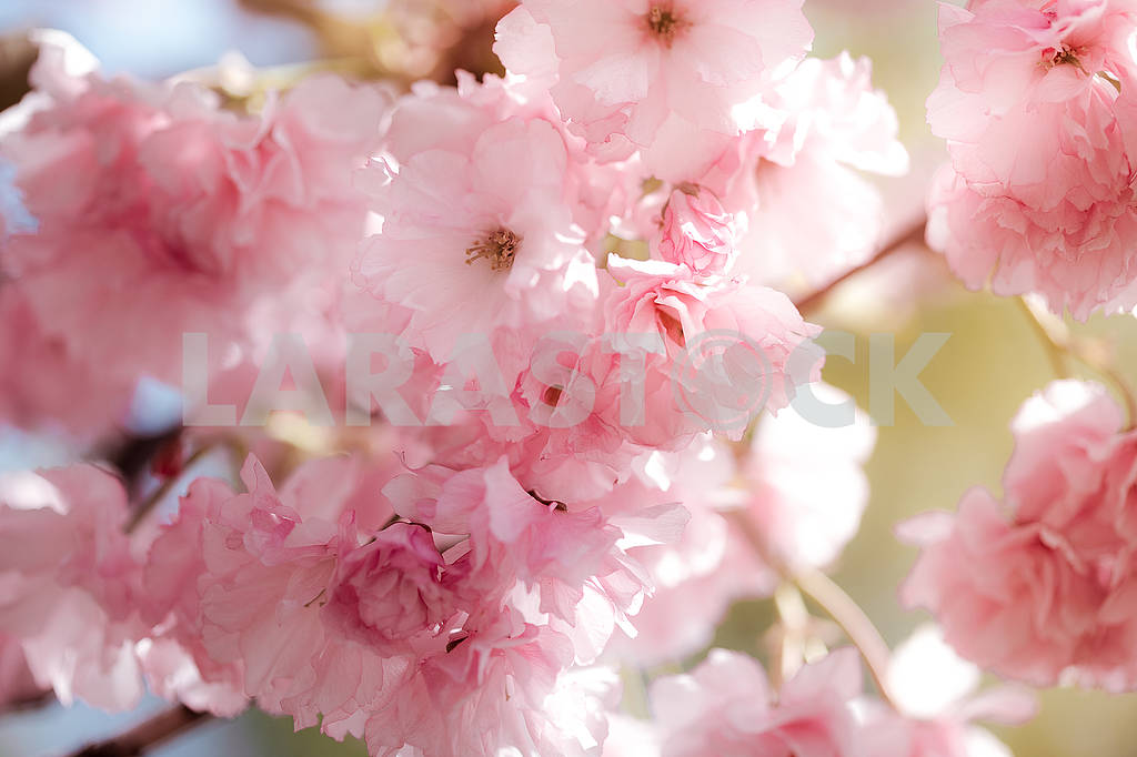 Cherry Blossom trees, Nature and Spring time background. Pink Sa — Image 70719