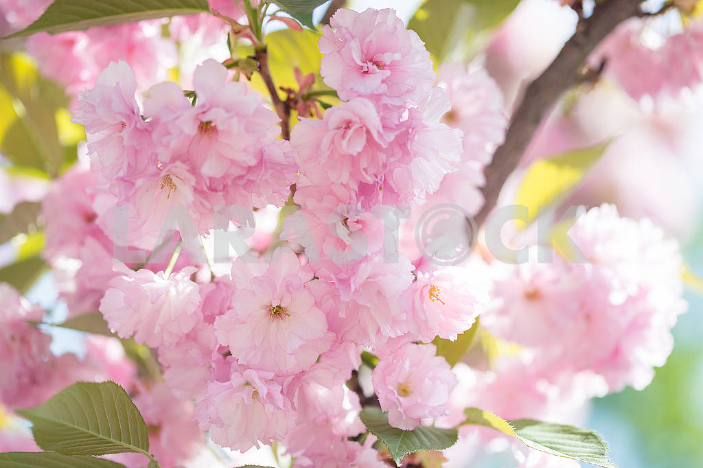 Cherry Blossom trees, Nature and Spring time background. Pink Sa — Image 70722