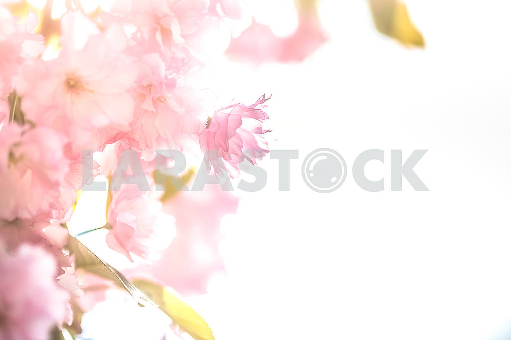 Cherry Blossom trees, Nature and Spring time background. Pink Sa — Image 70723