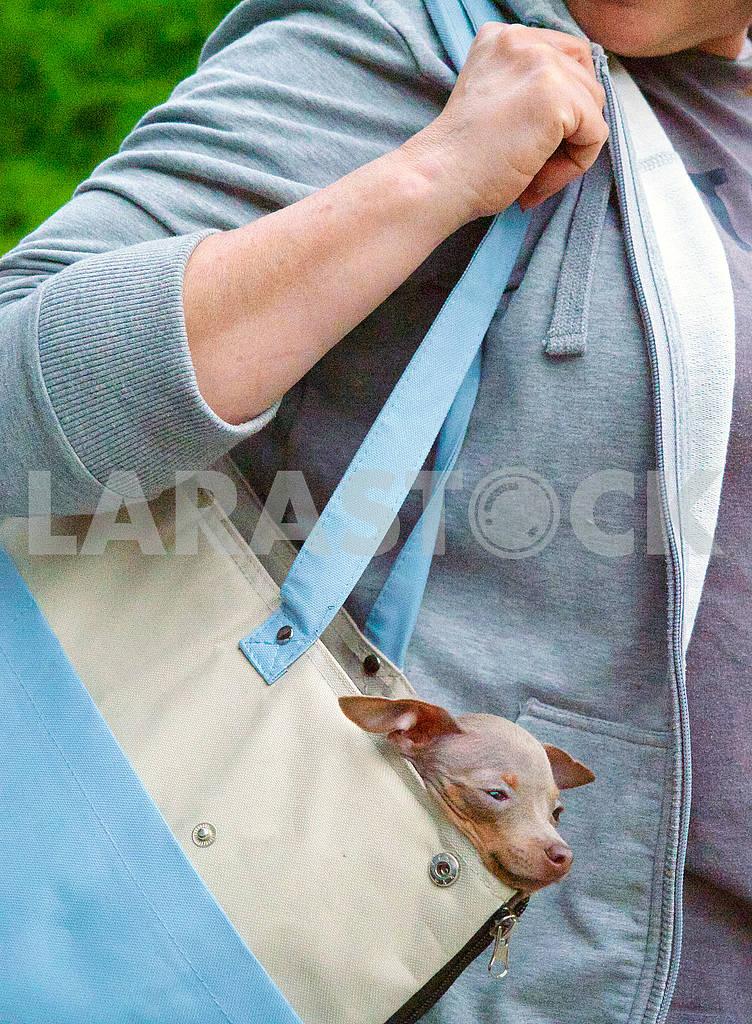 Той терьер в сумке — Изображение 70773