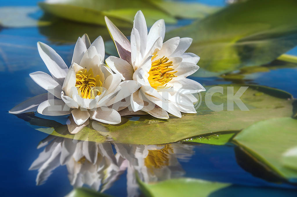Two white waterlilies — Image 71145