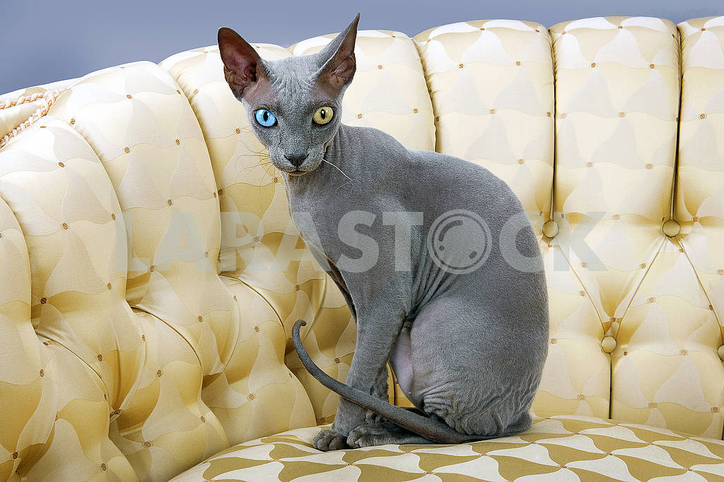 Studio shot sphinx cat on sofa — Image 71164