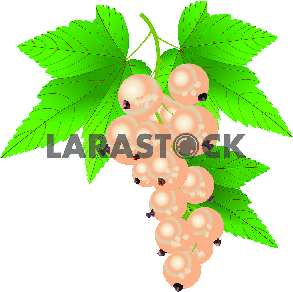 White currant — Image 71180