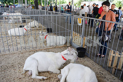 Goats at the exhibition