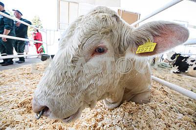 Овца на выставке