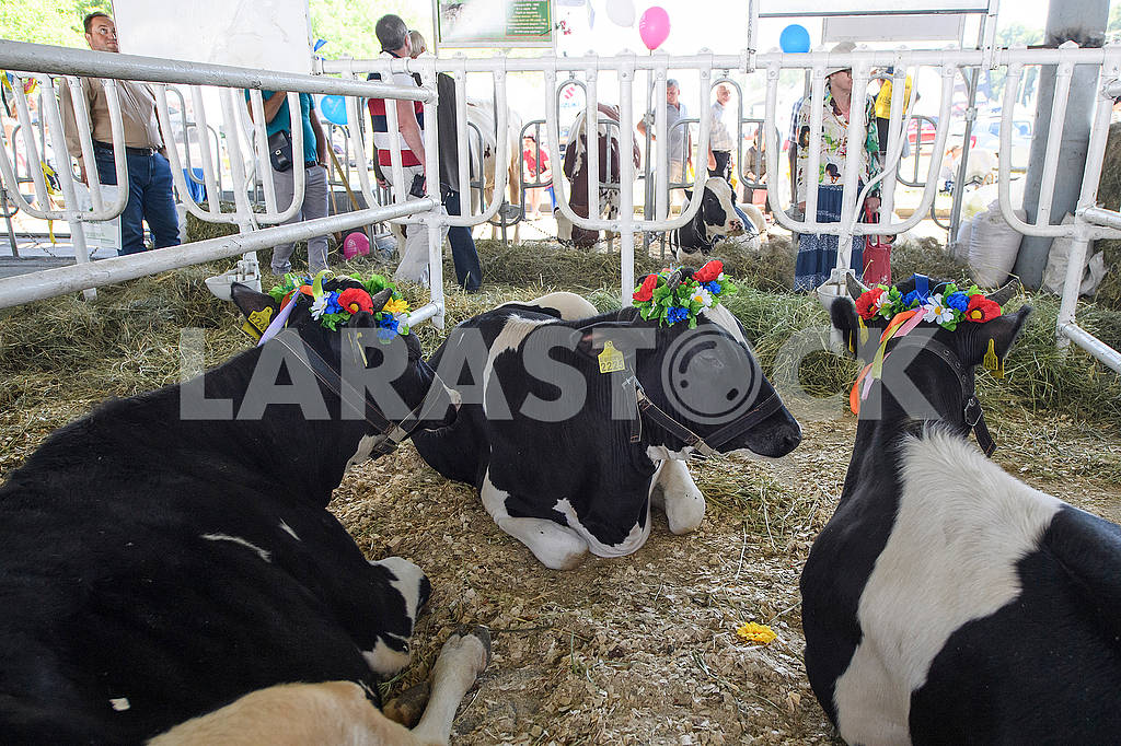 Cows at the exhibition — Image 71431