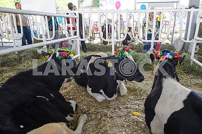 Коровы на выставке