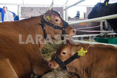 Cows at the exhibition