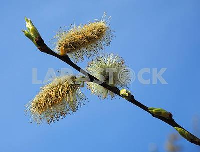 Цветущая ветка ивы