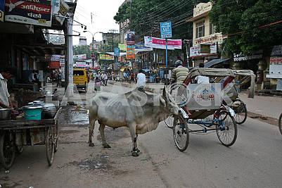 Священное животное Индии на центральной улице Варанаси.