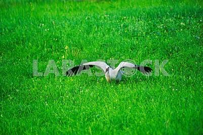 Storks in the Carpathians