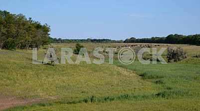 A herd of cows in the steppe