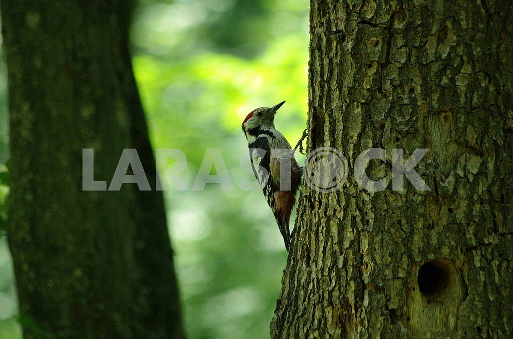 Woodpecker on the tree. Summer. — Image 71647
