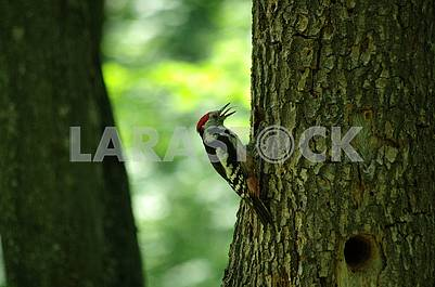 Woodpecker on a tree,in the beak keeps food for the chick.  Summer. Close-up.