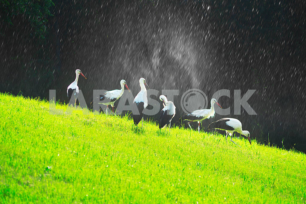 Storks in the Carpathians — Image 71668