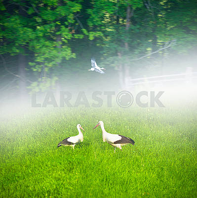 Storks in the Carpathians
