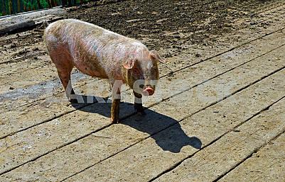 Маленька брудна свиня
