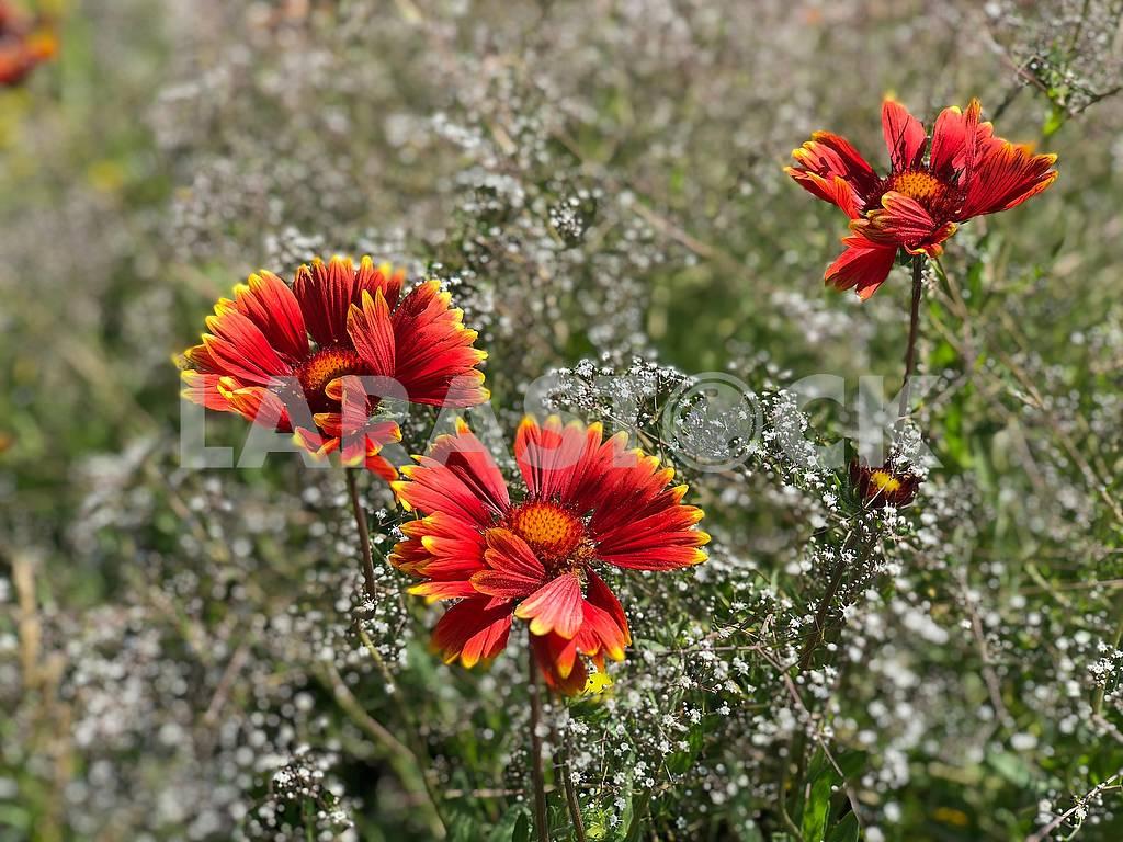 Цветы рудбекии — Изображение 71894