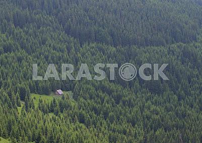 Хвойный лес в горах