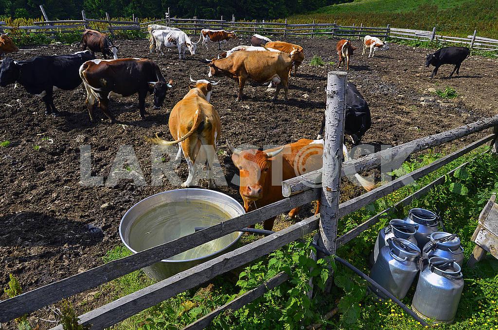 Стадо дійних корів — Изображение 72179