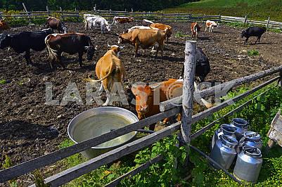 Herd of milking cows