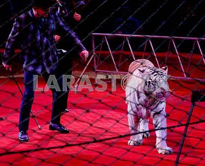 Белый тигр Арни