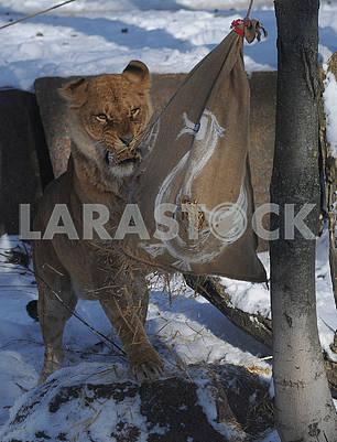 Львица разрывает мешок с соломой