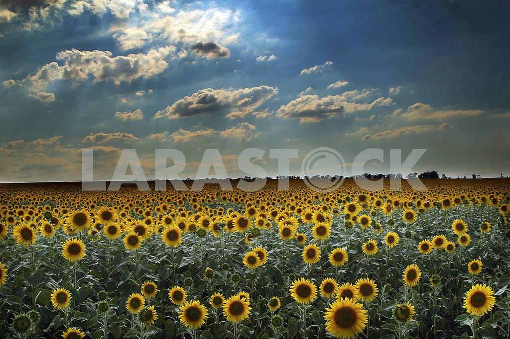 Подсолнух на поле — Изображение 73275