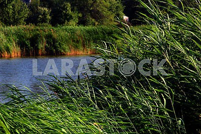 Thickets on the shore of the lake