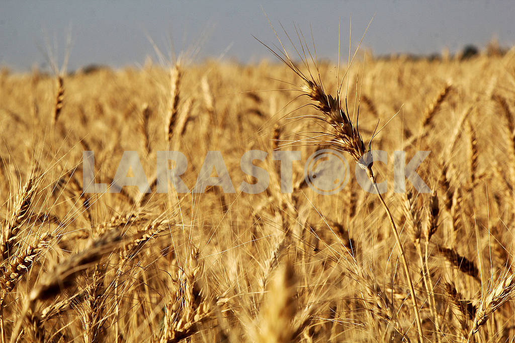 Spikes of wheat on the field — Image 73490