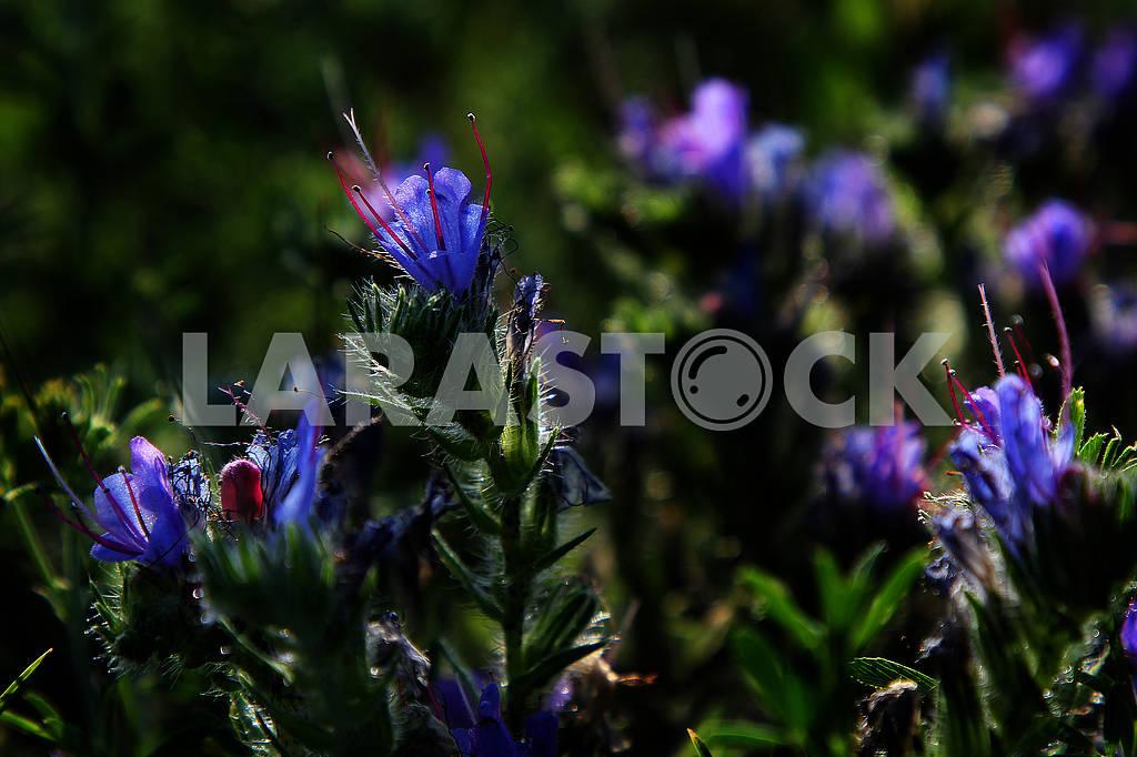 Синие полевые цветы — Изображение 73540