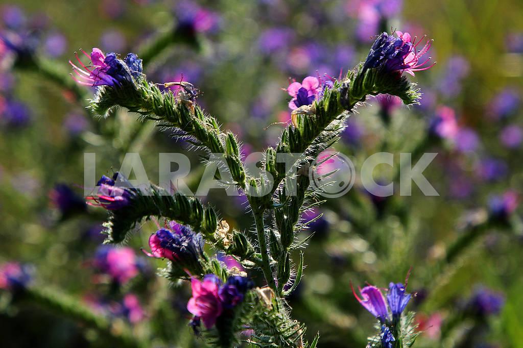 Фиолетовые полевые цветы — Изображение 73541