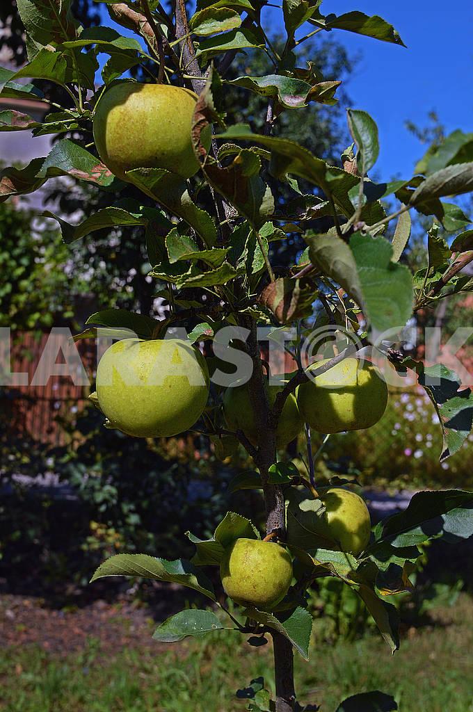 Зрілі зелені яблука — Изображение 73903