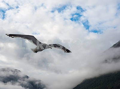 Seagull in the mountains