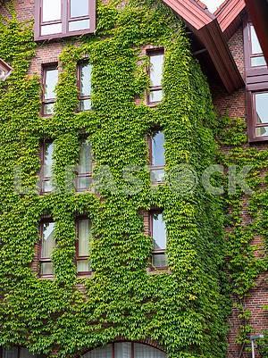 Стена здания с вьющимися листьями